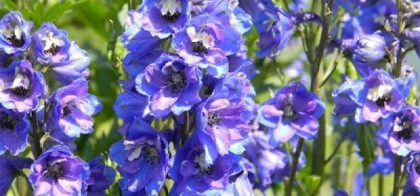 The Best Tips On How To Use Blue Garden Flowers