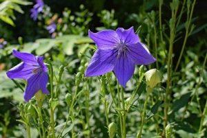 Blue Garden Flower Campanula
