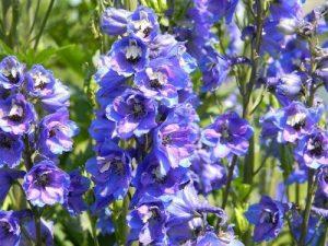 Blue Garden Flower Delphinium