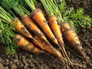 Fall Vegetable Garden Carrots