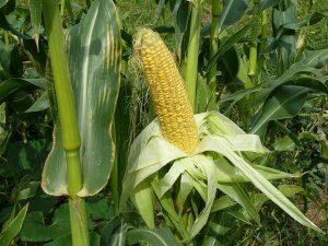 Fall Vegetable Garden Corn